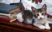Подарю очаровательных воспитанных котят добрым и ответственным людям.