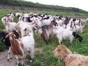 cumpar capre de la 5 la 200 capete